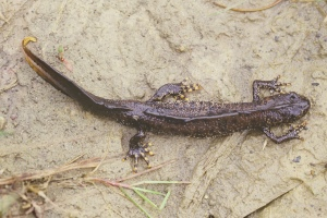 Great Crested Newt - image credit Natural England Peter Wakely