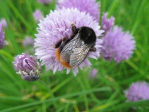 IMG_0818 Bombus lapidarius worker on chive flower